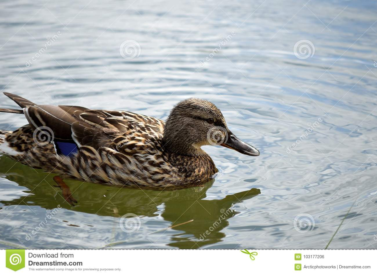 Female Mallard Duck In Summer Pond Close Up Stock Photo