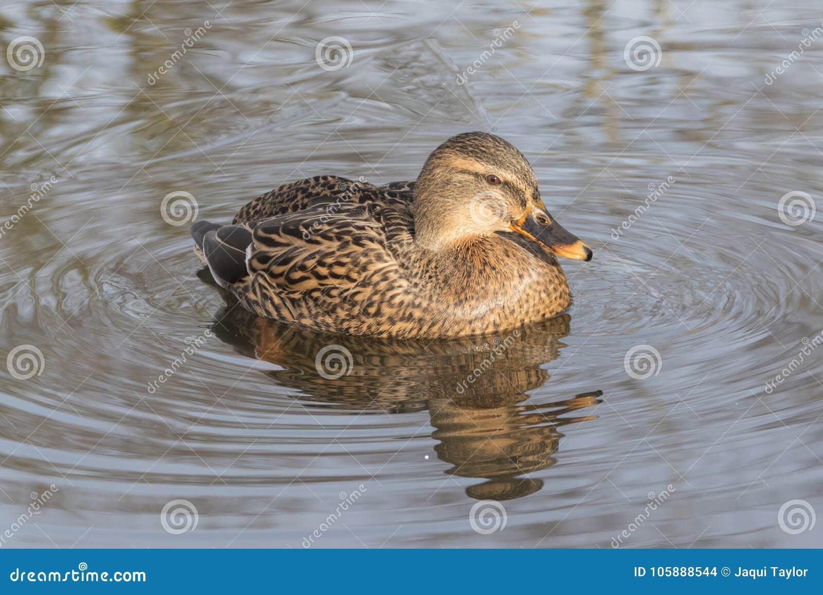 A mallard duck on an icy pond