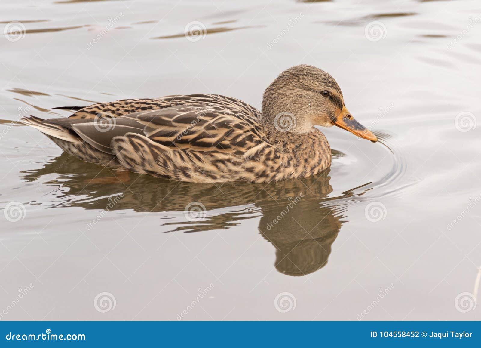 Download A Female Mallard Duck On The Ornamental Pond, Southampton Common Stock Photo - Image of female, ornamental: 104558452
