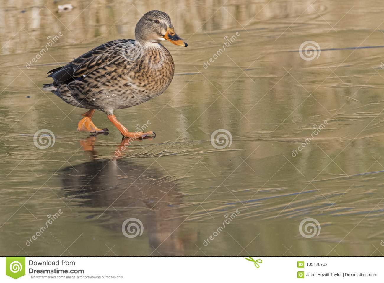 Download A Female Mallard Duck Walking On Ice : Southampton Common Stock Photo - Image of iced, frozen: 105120702