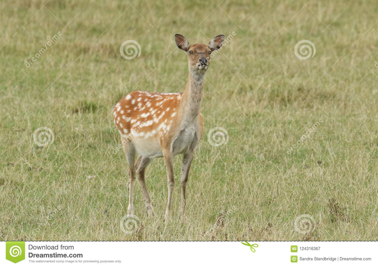 A Cute Female Manchurian Sika Deer Or Dybowski`s Sika Deer