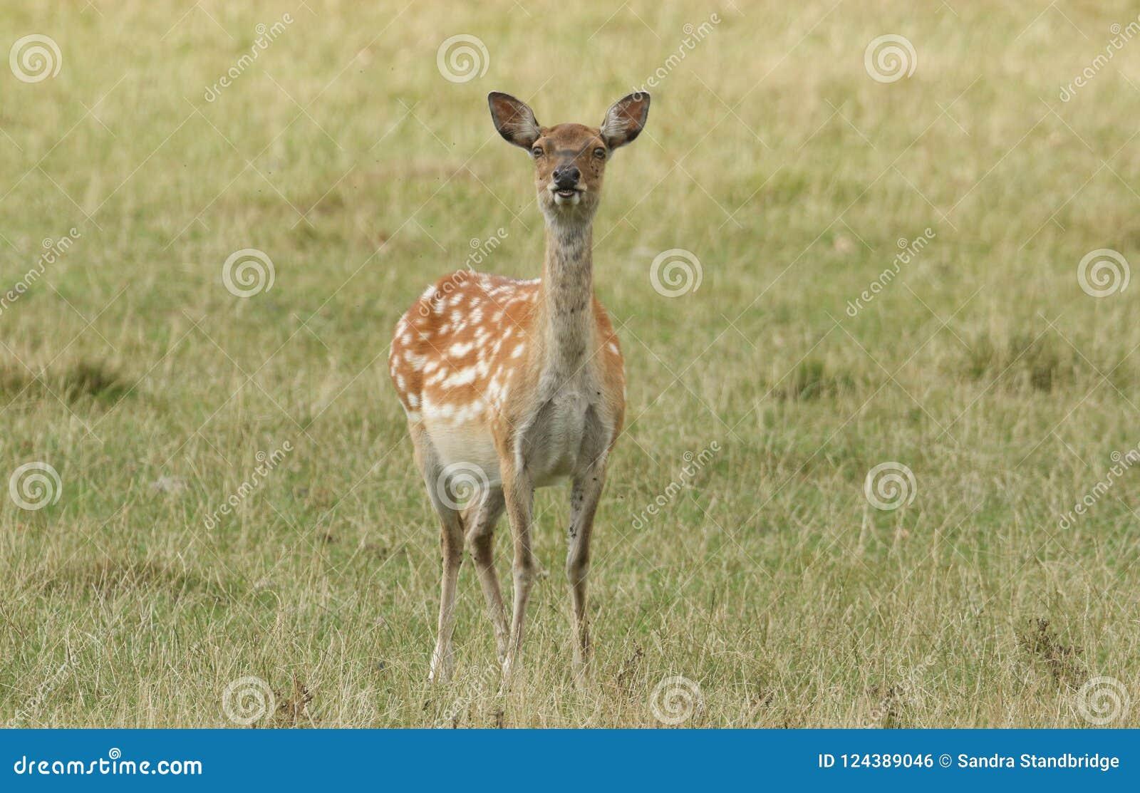 A Cute Female Manchurian Sika Deer Or Dybowski`s Sika Deer Cervus