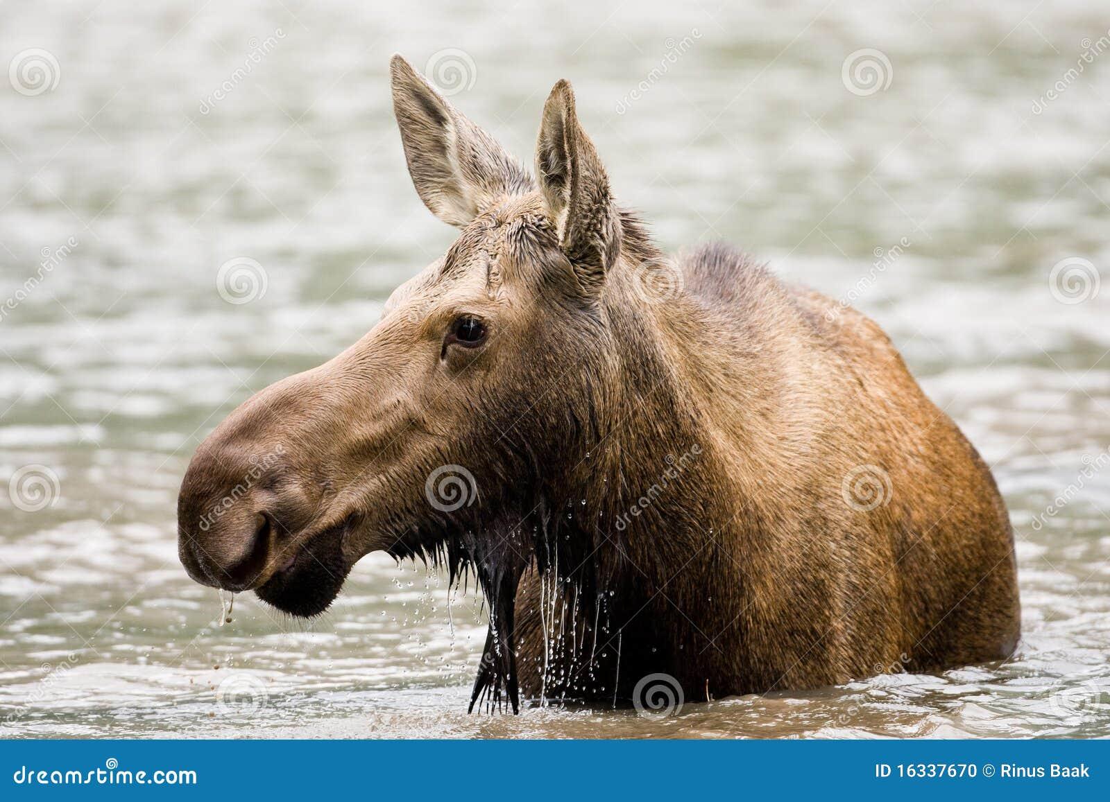 Female Moose Stock Photo Image 16337670