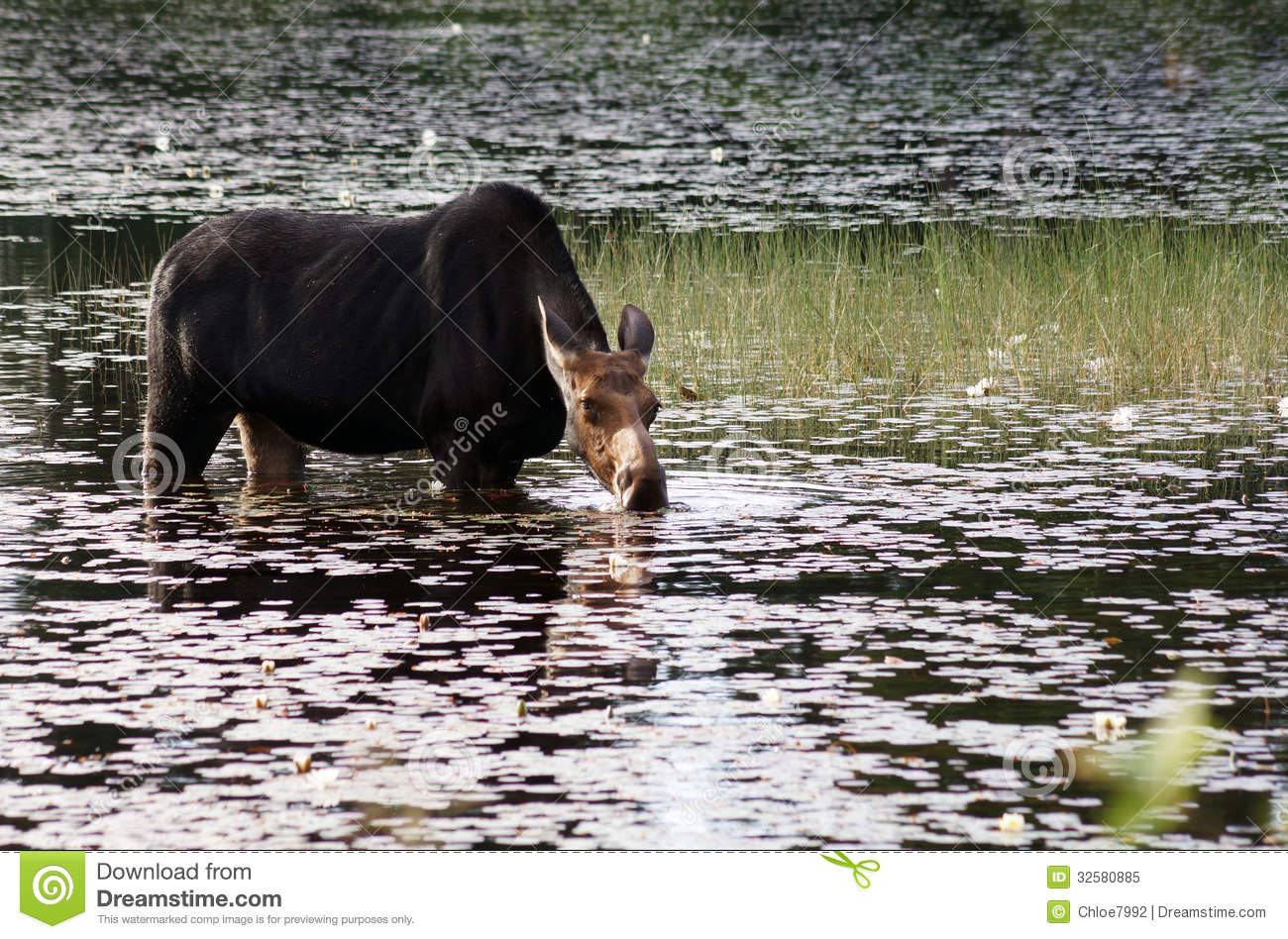 Female moose in the swamp