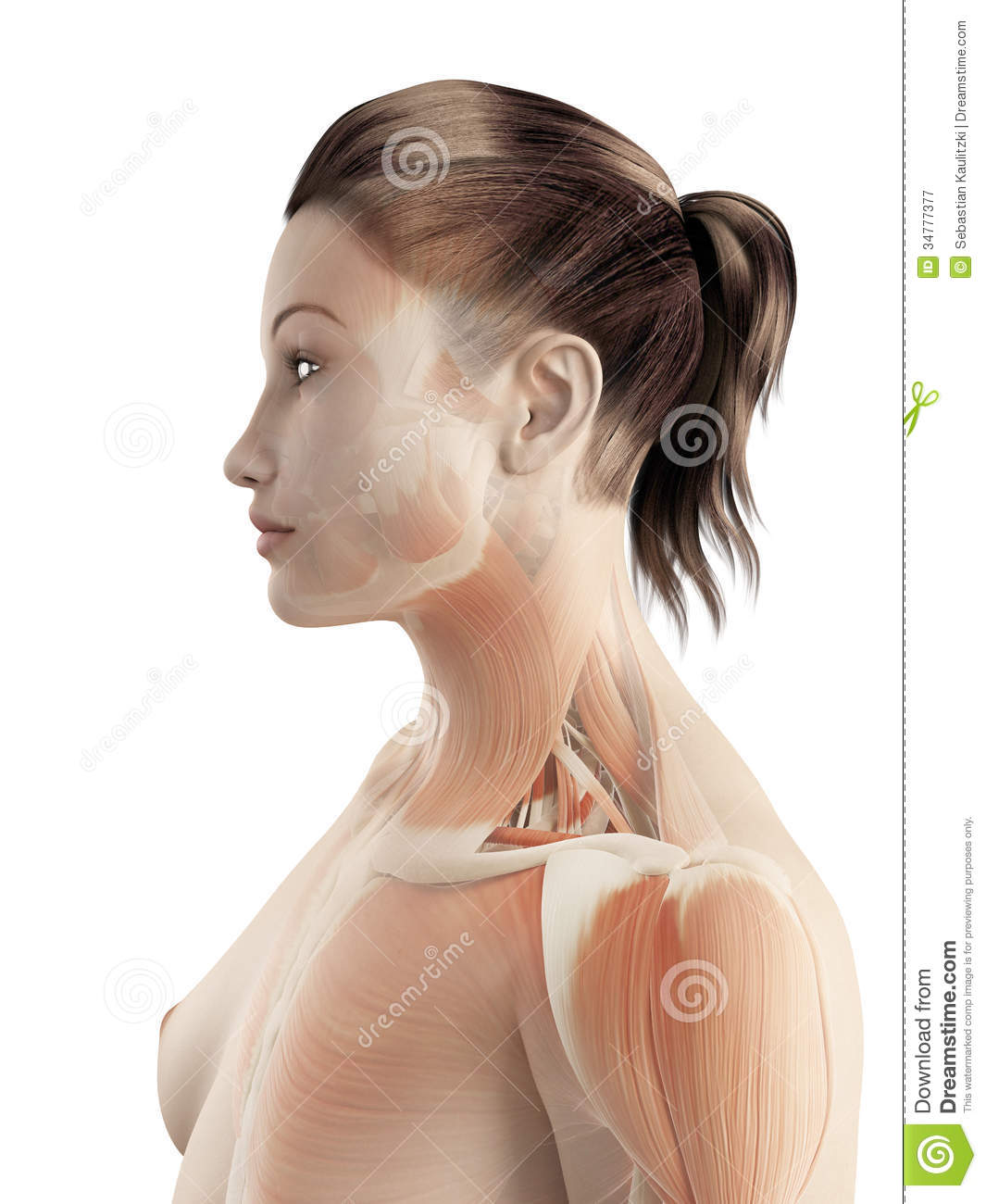 the female muscle system royalty free stock photography - image, Muscles