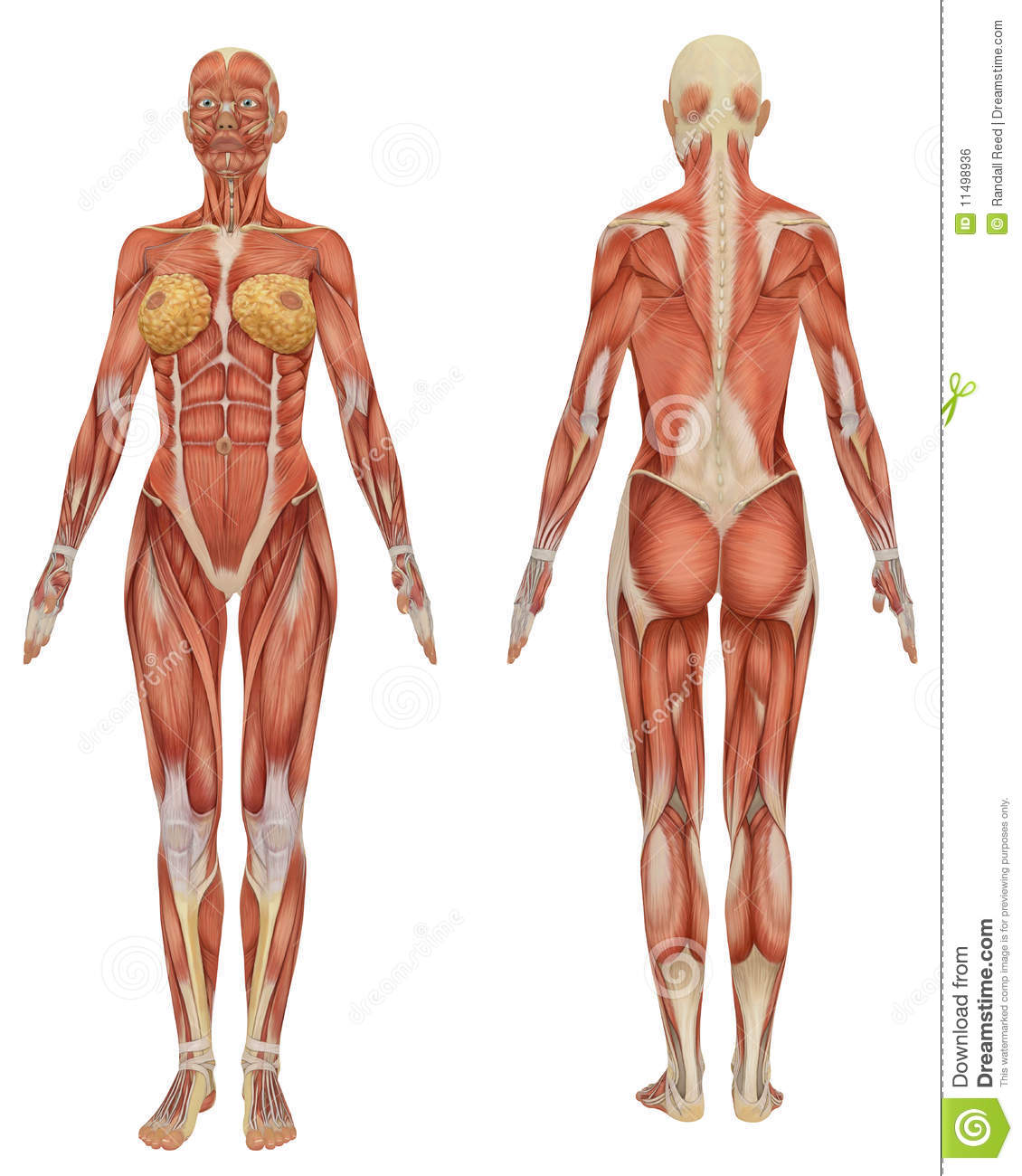 Female Muscular Anatomy Front And Rear View Stock Illustration