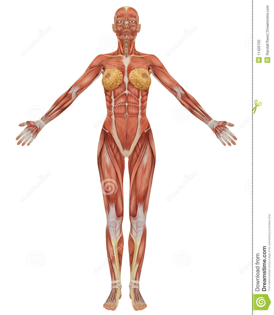female muscular anatomy front view stock photo - image: 11426700, Muscles