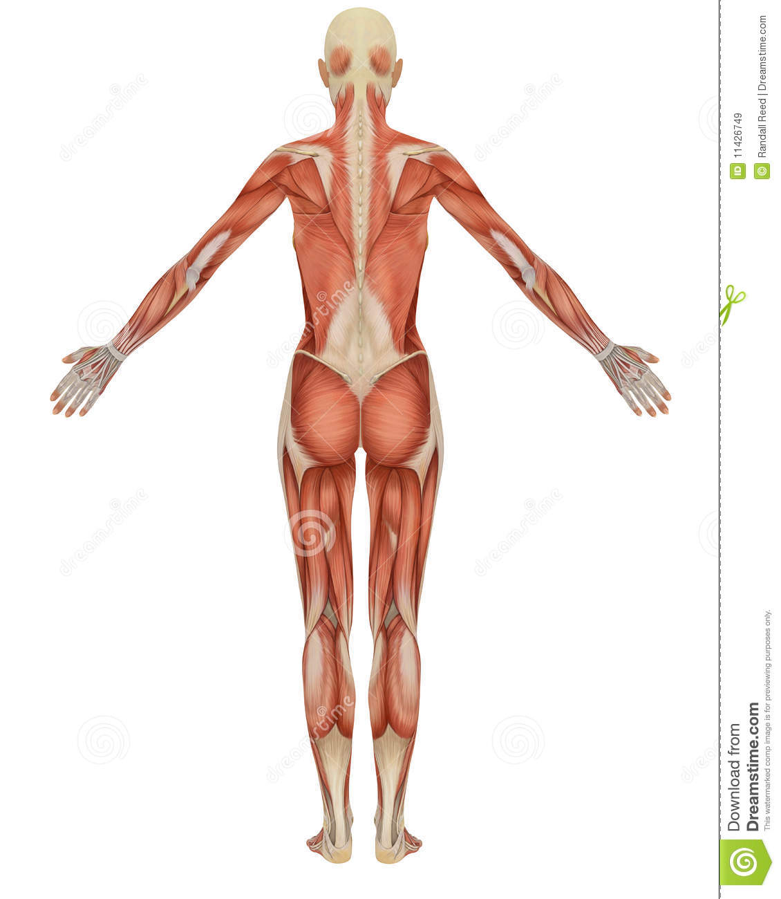 female muscular anatomy rear view royalty free stock images, Muscles