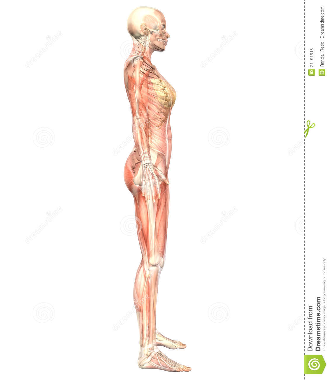 Female Muscular Anatomy Semi Transparent Side View Illustration ...