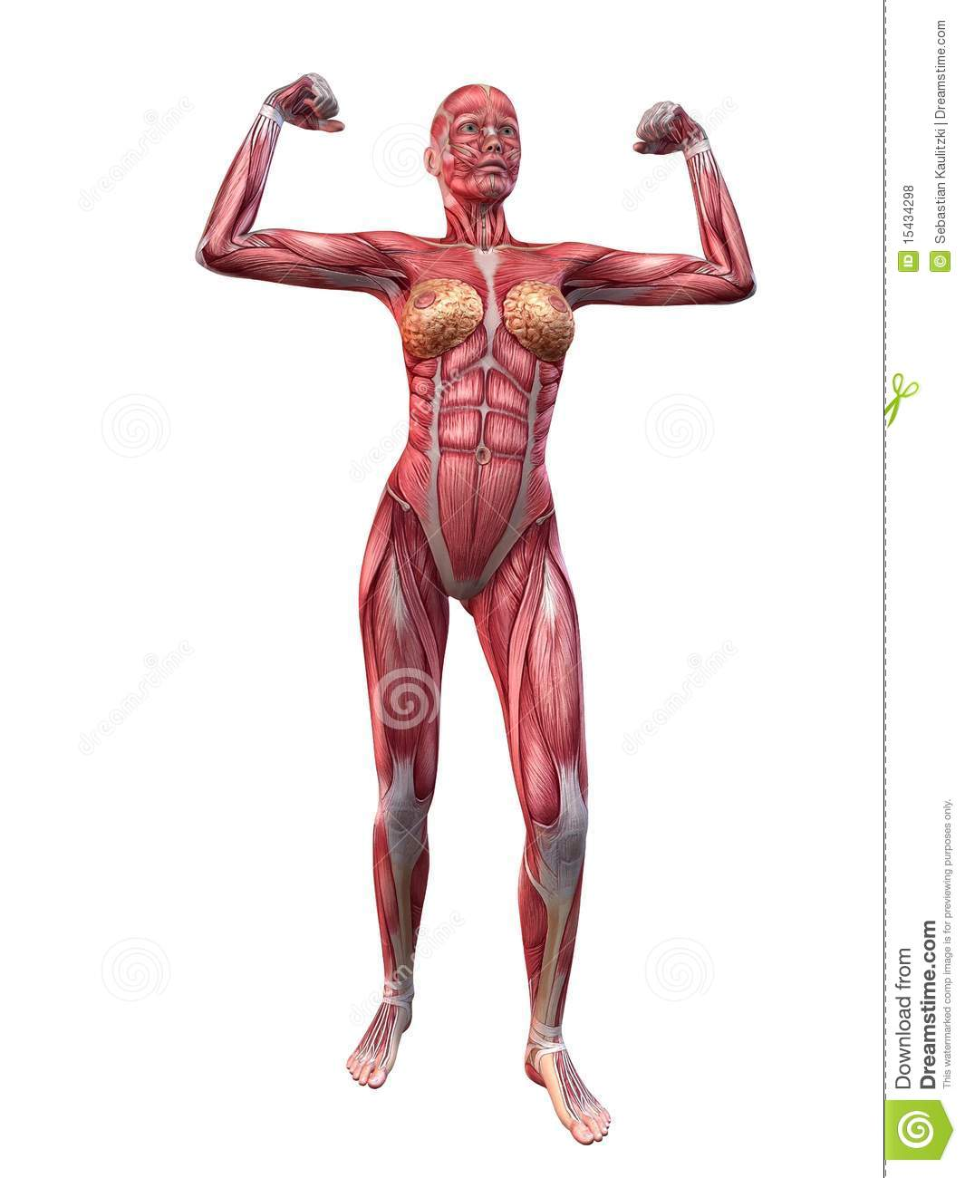 female muscular system royalty free stock photos - image: 15434298, Muscles