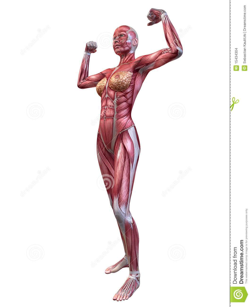 Female muscular system stock illustration. Illustration of pose ...