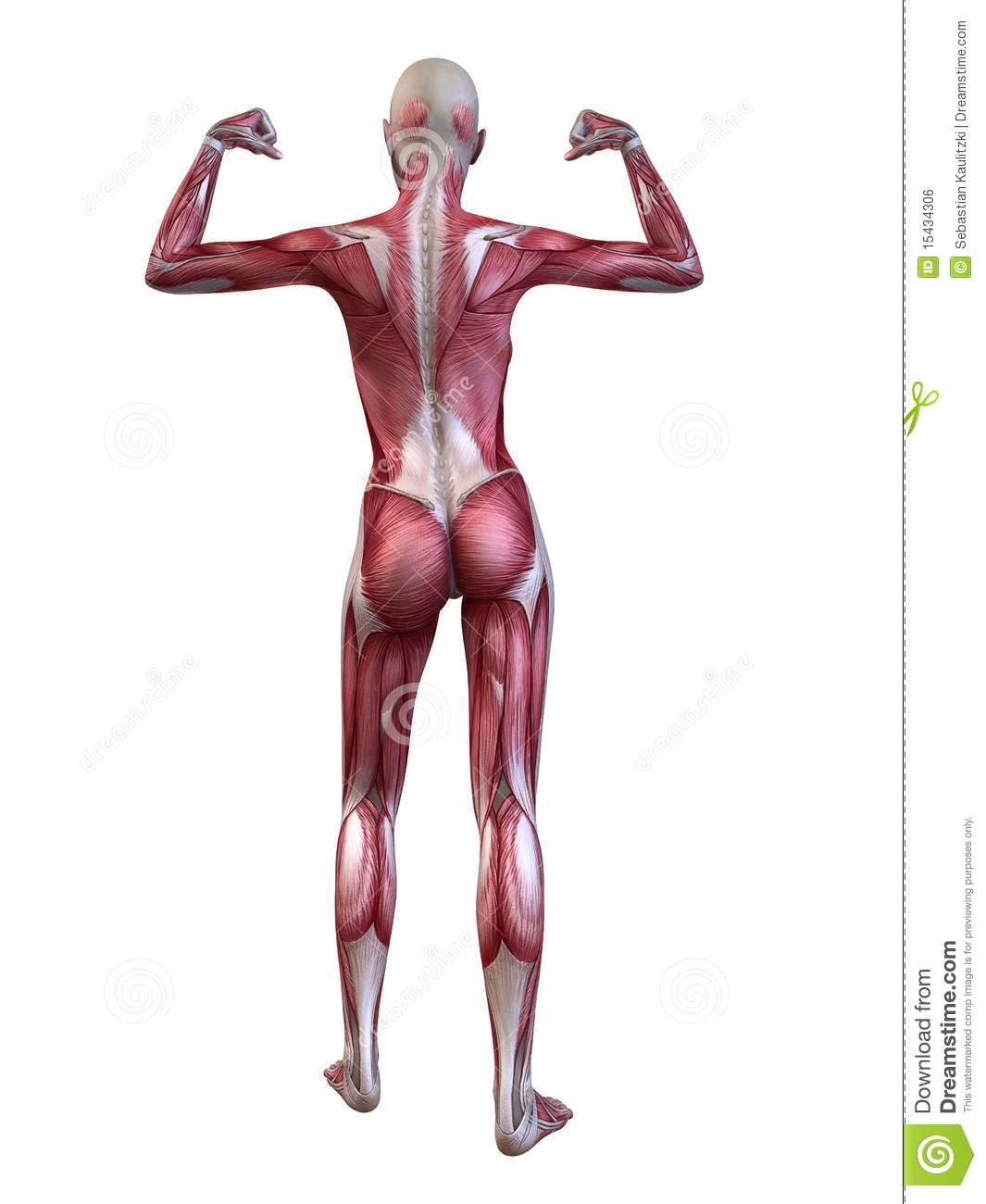 female muscular system royalty free stock image - image: 15434306, Muscles