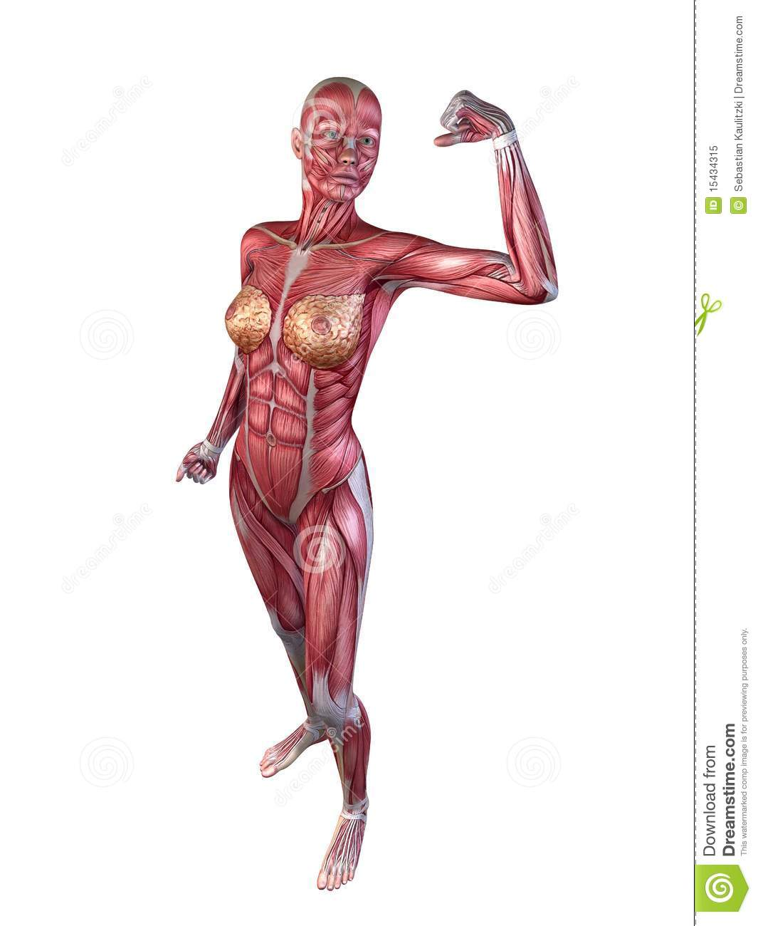 female muscular system royalty free stock photo - image: 15434315, Muscles
