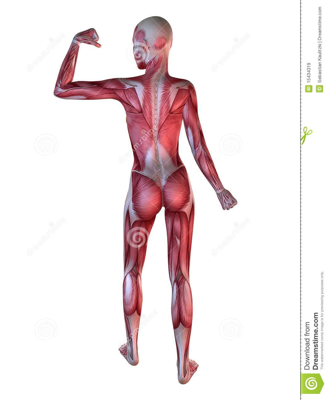 female muscular system royalty free stock images - image: 15434319, Muscles
