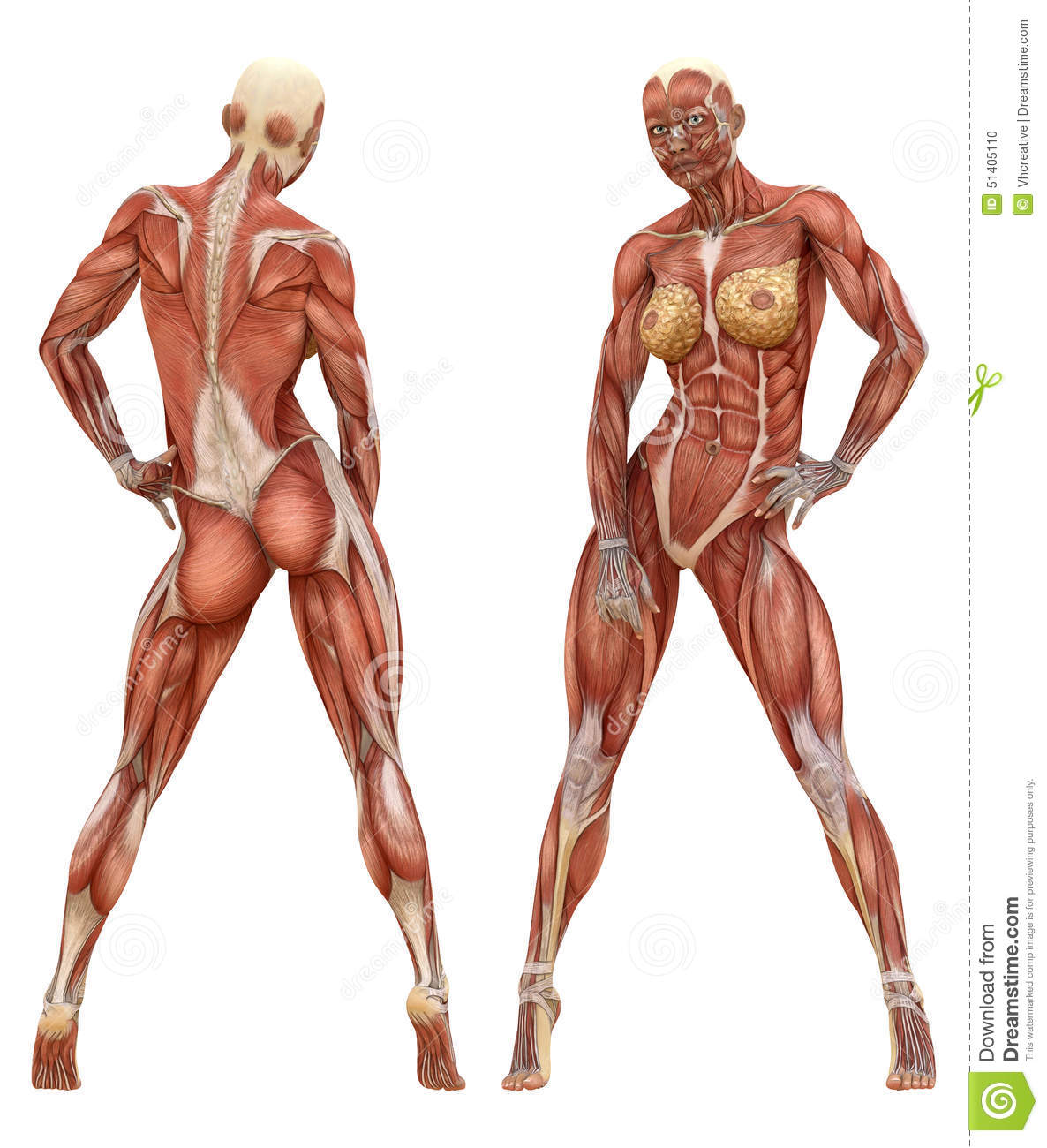 Female Muscular System Anatomy Stock Photo Illustration Of Health