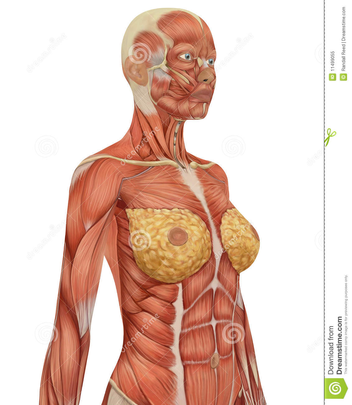 Female Musular Anatomy Upper Body Close Up Stock Illustration ...
