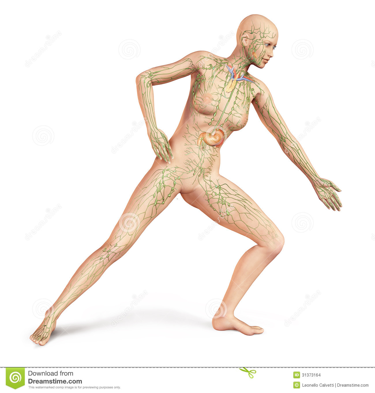 female naked body, with full lymphatic system superimposed. stock