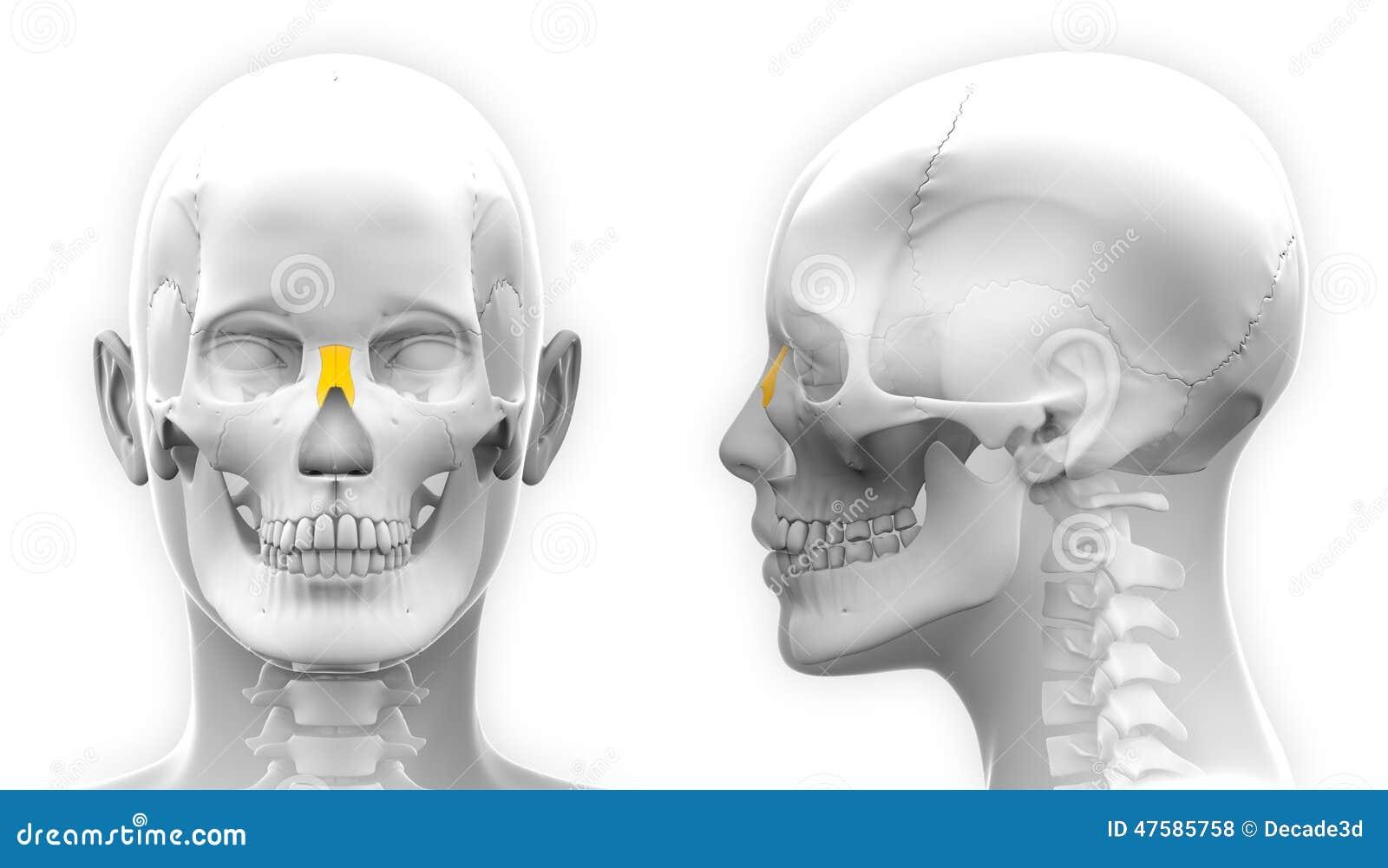 Female Nasal Bone Skull Anatomy Isolated On White Stock