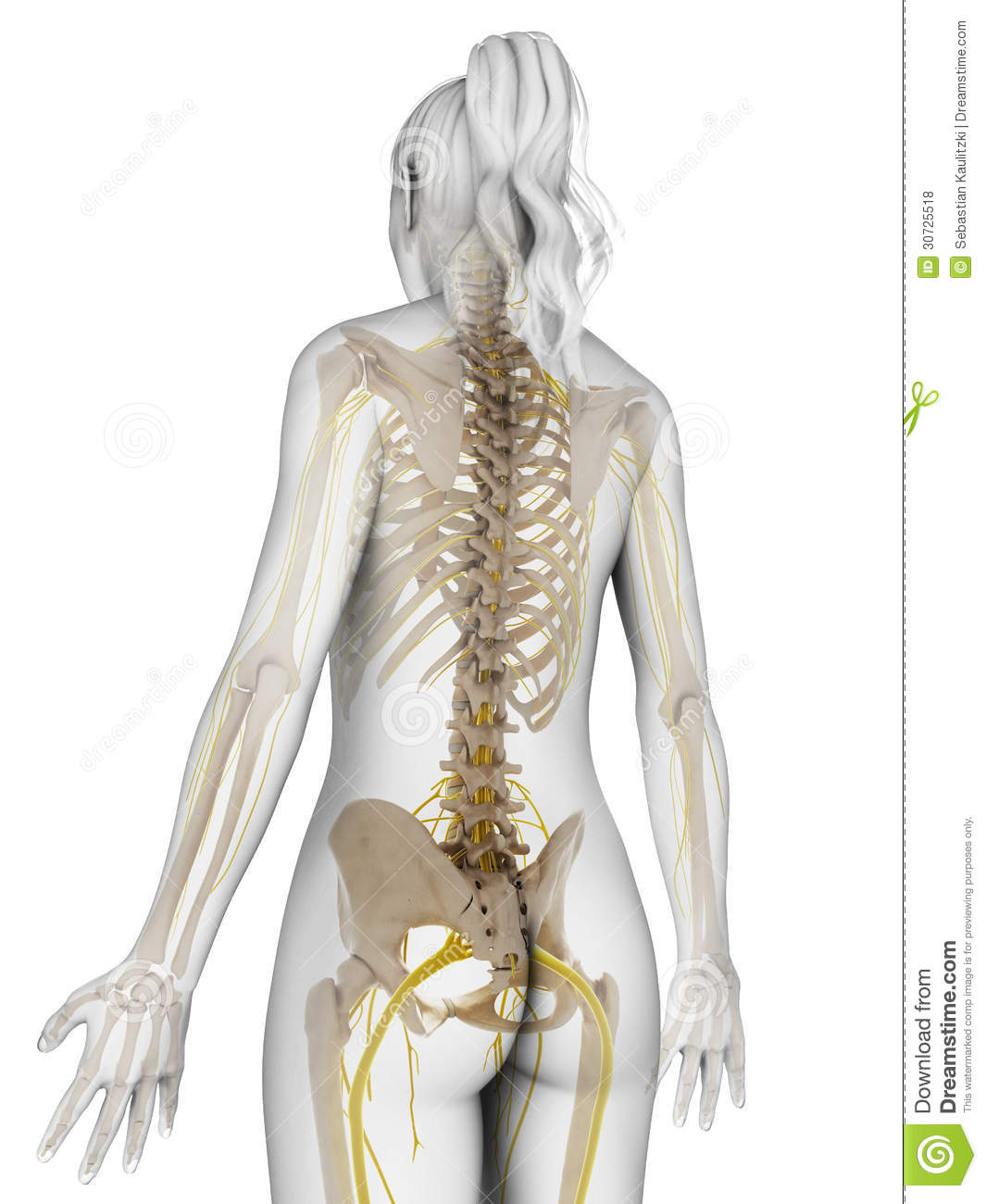 Female nervous system stock illustration illustration of human female nervous system human healthy ccuart Choice Image