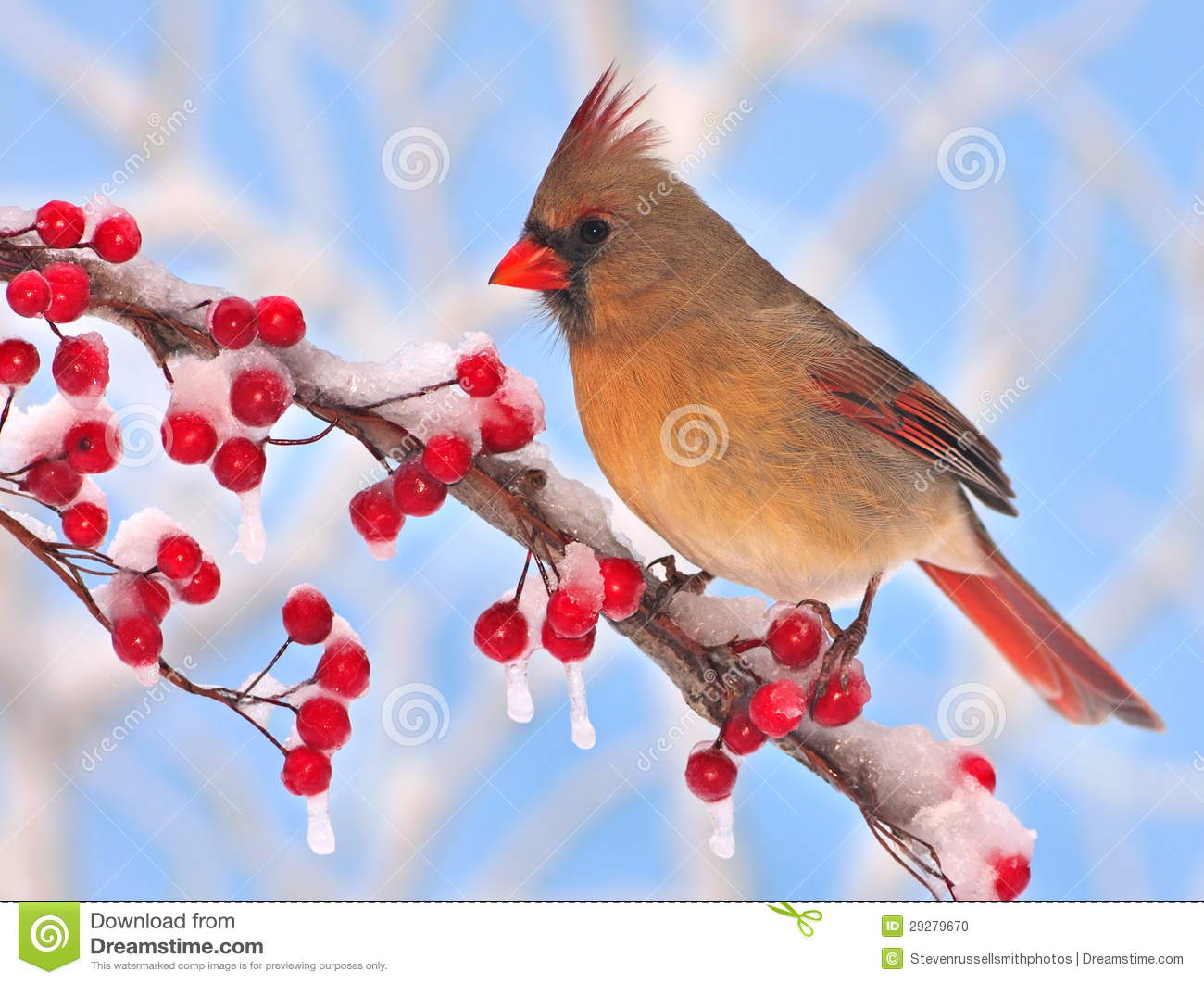 """""""Oh, she's just a friend.""""   one male and two female ...  Female Cardinal In Winter"""