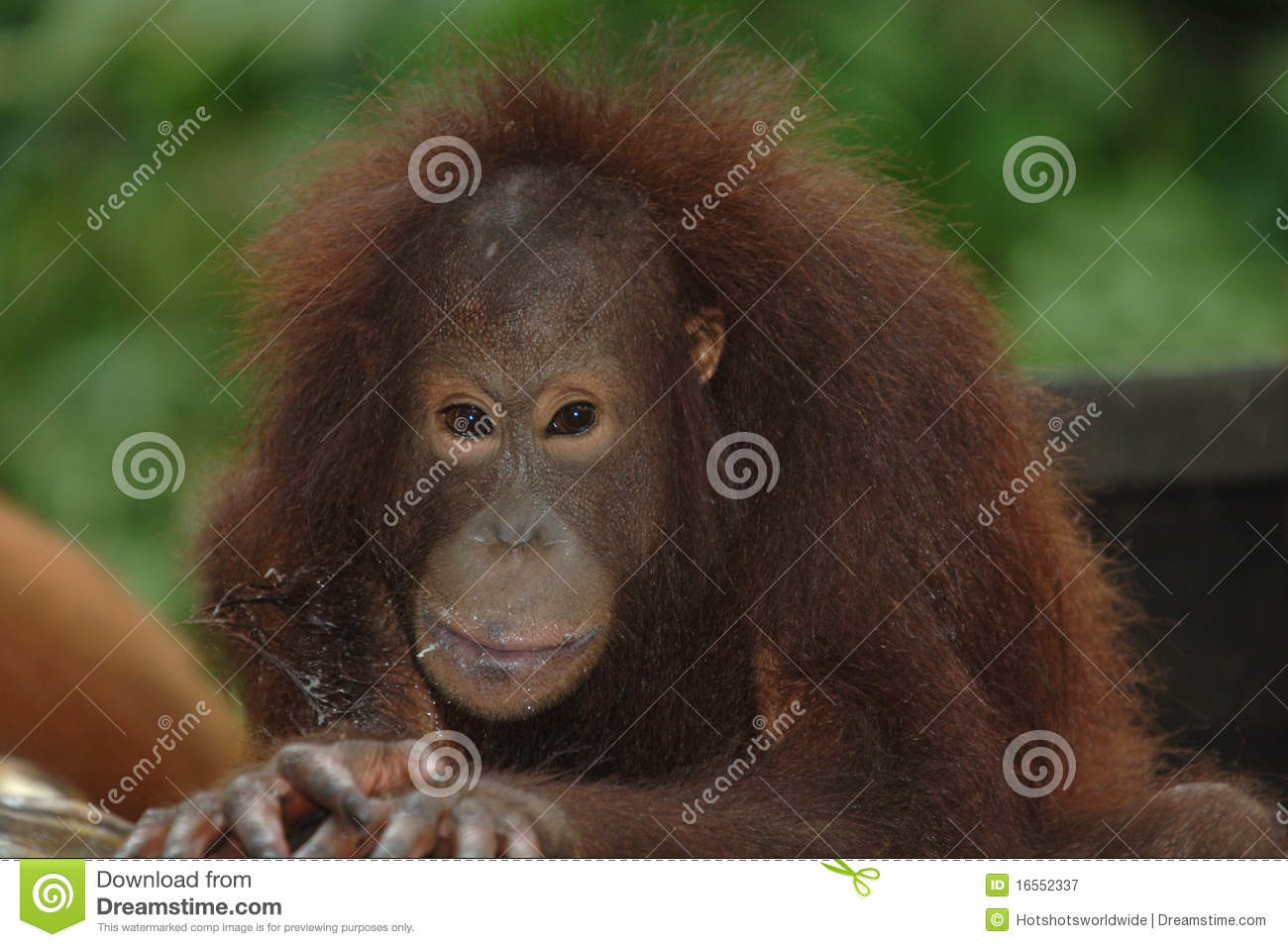 Female Orangutan, Borneo, Asia Orange Monkey Royalty Free Stock ...