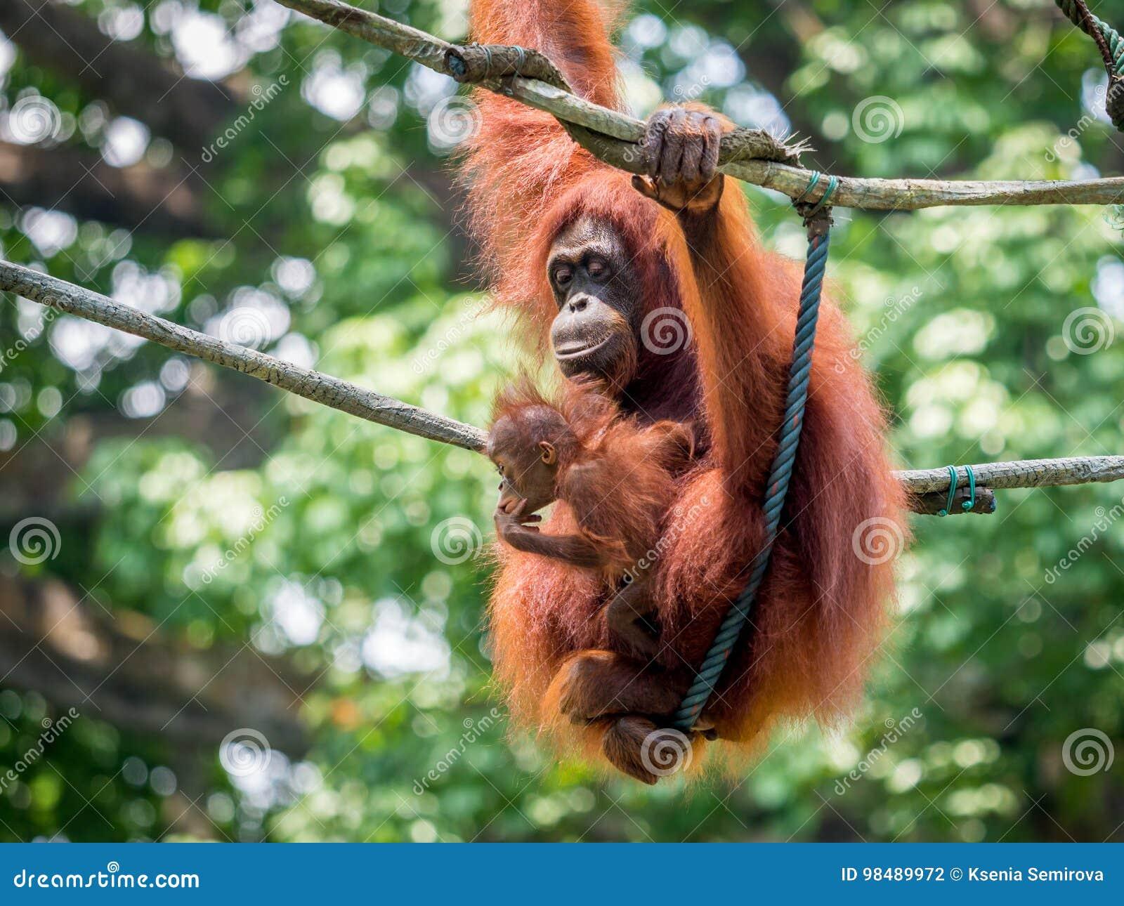 Female Sumatran Orangutan Standing On A Bamboo In Gunung