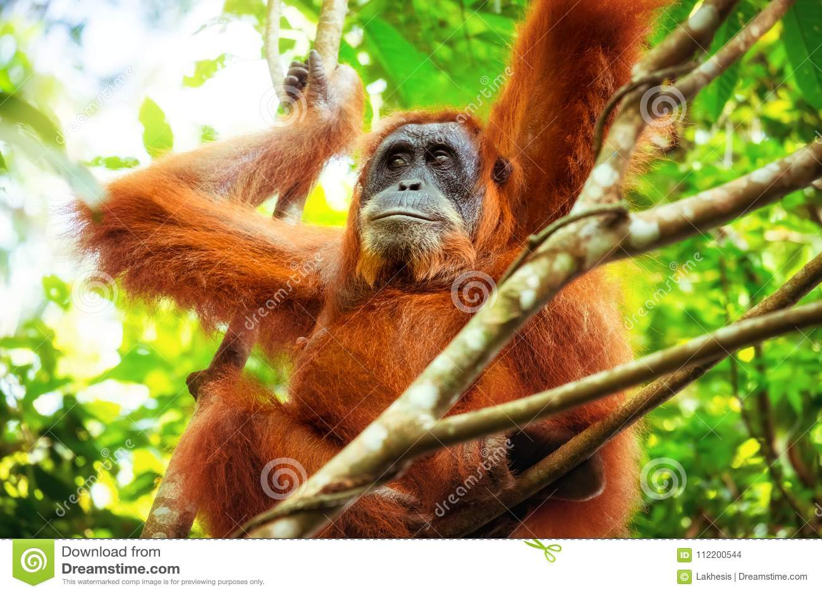 Female Orangutan Eating Bamboo Looking At The Horizon