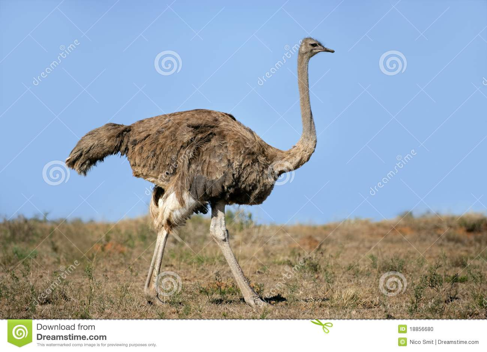 Female Ostrich Stock Photo Image 18856680
