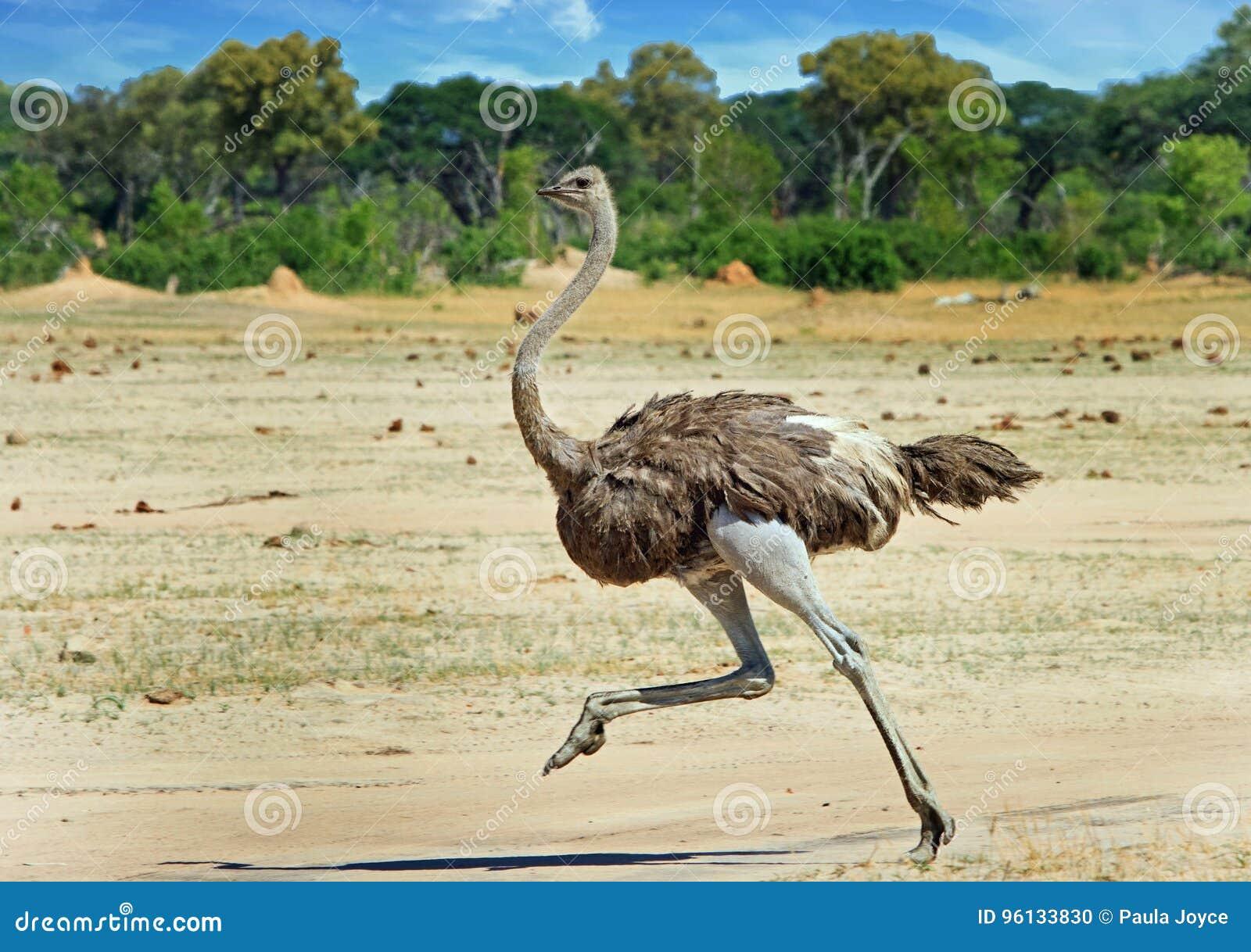 Female ostrich running across the Hwange Plains