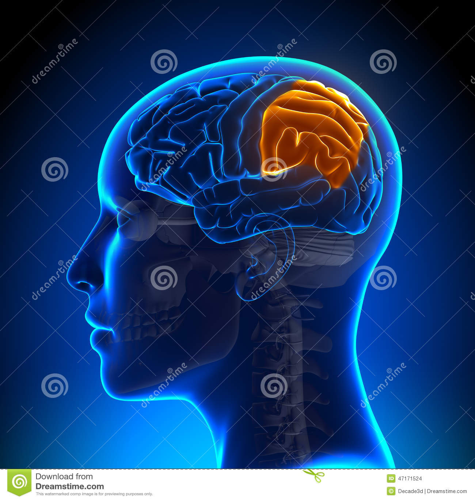 Female Parietal Lobe - Anatomy Brain Stock Illustration ...