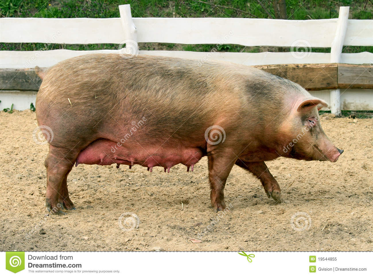 Female Pig Royalty Free Stock Photo - Image: 19544855