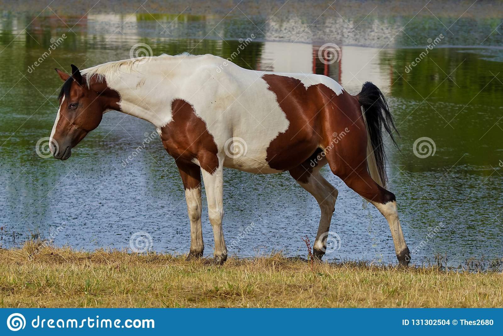 Female pinto horse taking leak