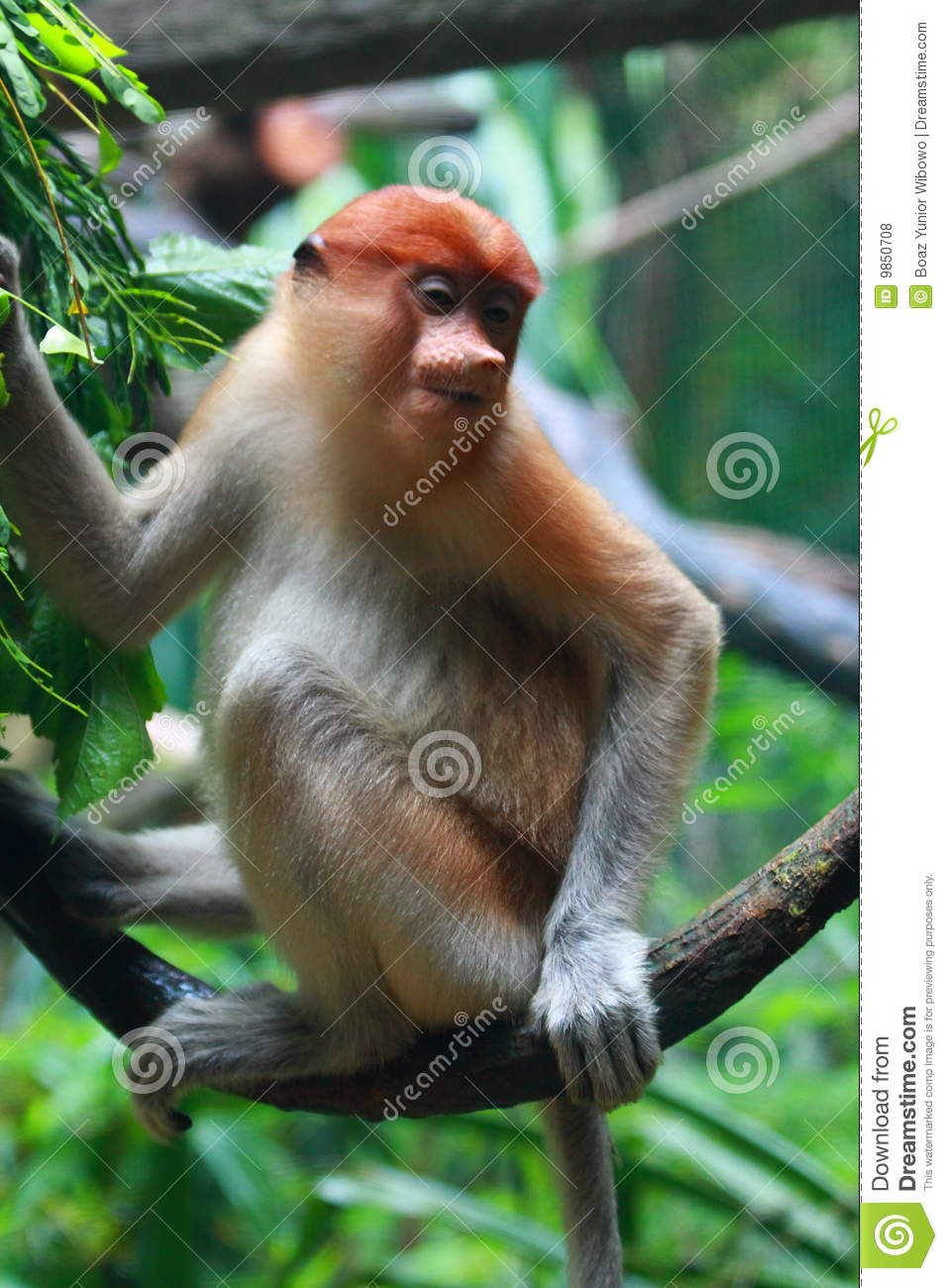 A Female Proboscis Monkey Bekantan Royalty Free Stock