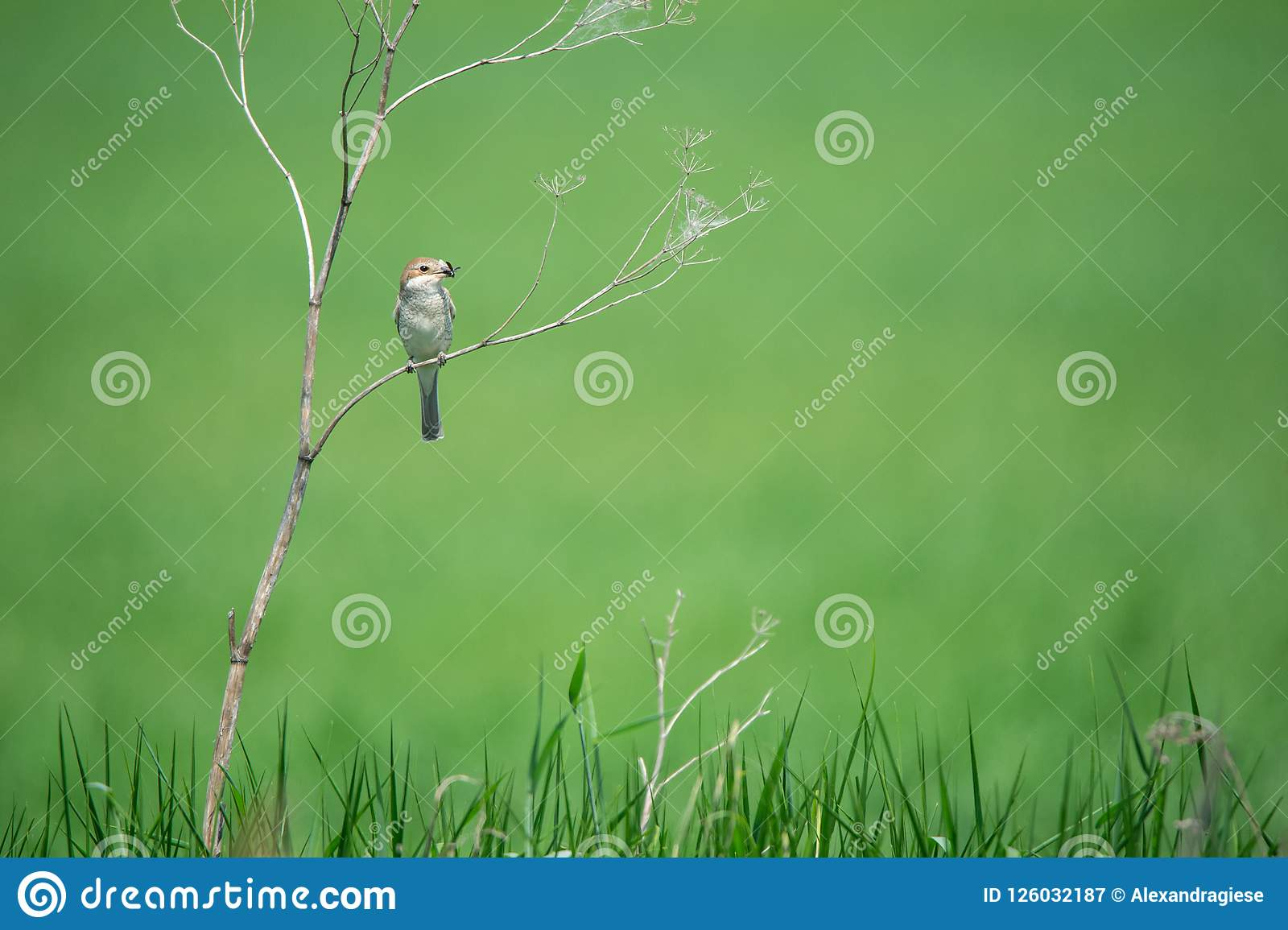 Female red backed shrike with an insect in the bill sitting on a fragile arid plant on a soft green nature background