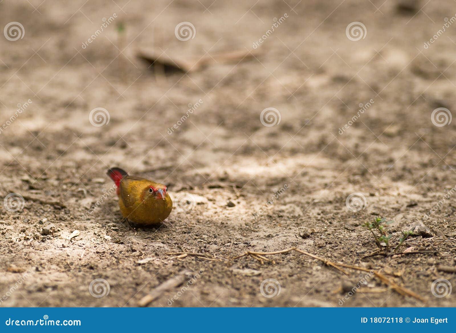 Female Red-billed Fire Finch