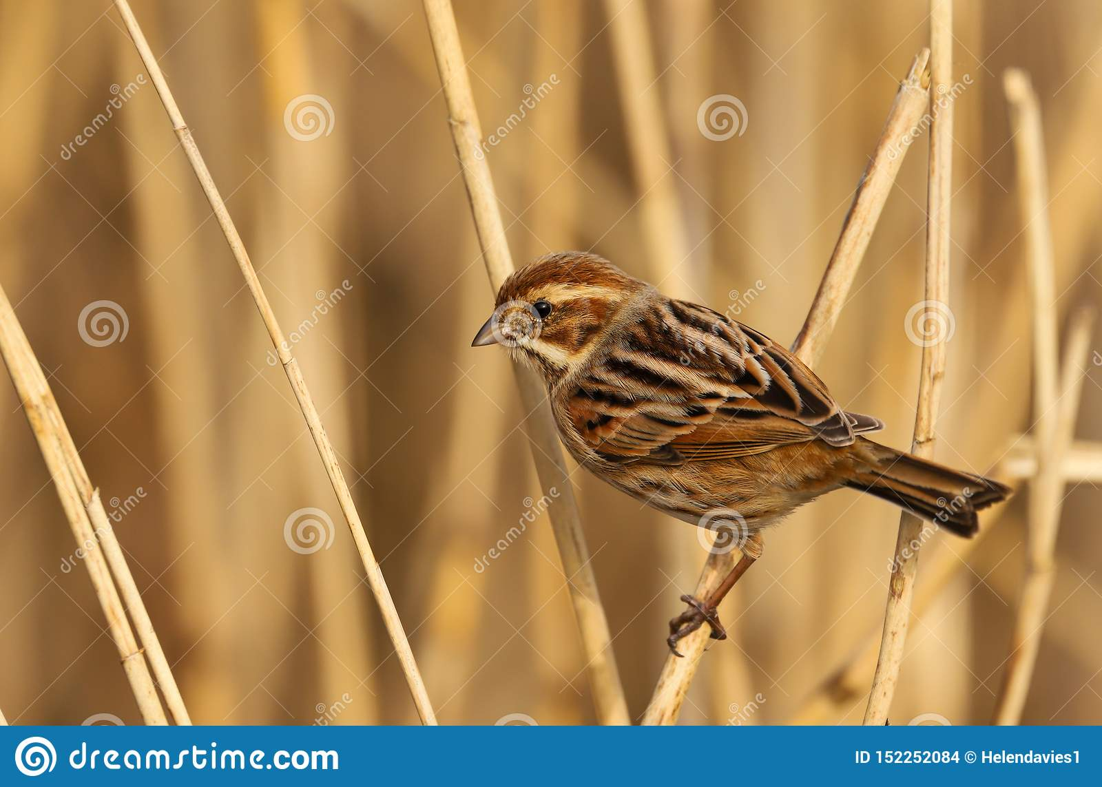Female Reed Bunting Emberiza Schoeniclus Bird In The Spring Sunshine Stock Photo Image Of Early Copy 152252084