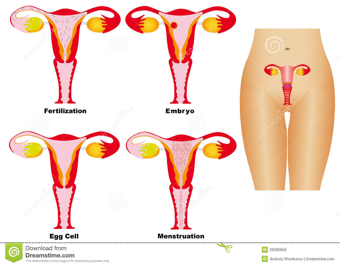 Female Reproductive System Royalty Free Stock Photos - Image: 26390858