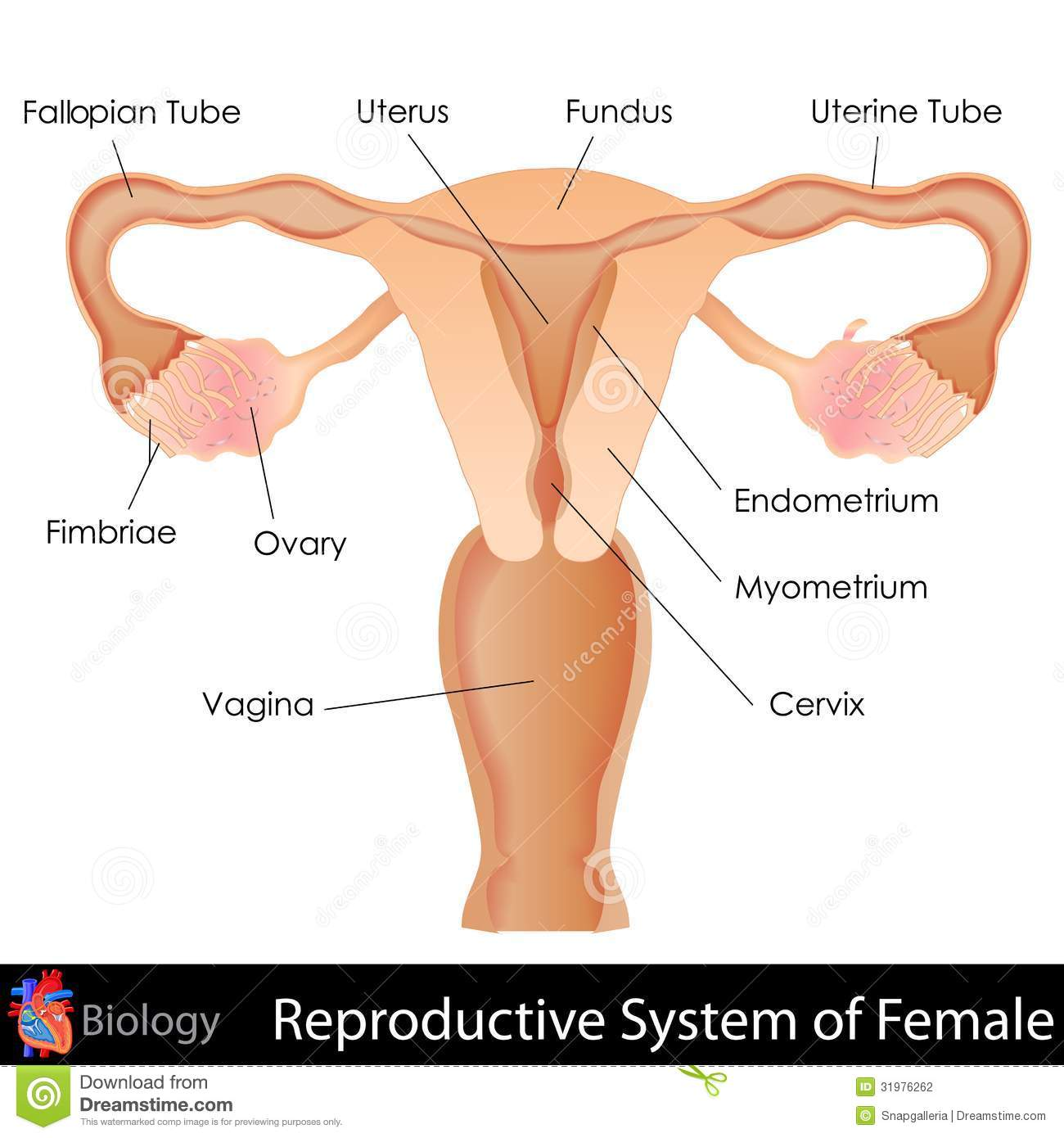 Female Reproductive System Illustration 31976262 Megapixl