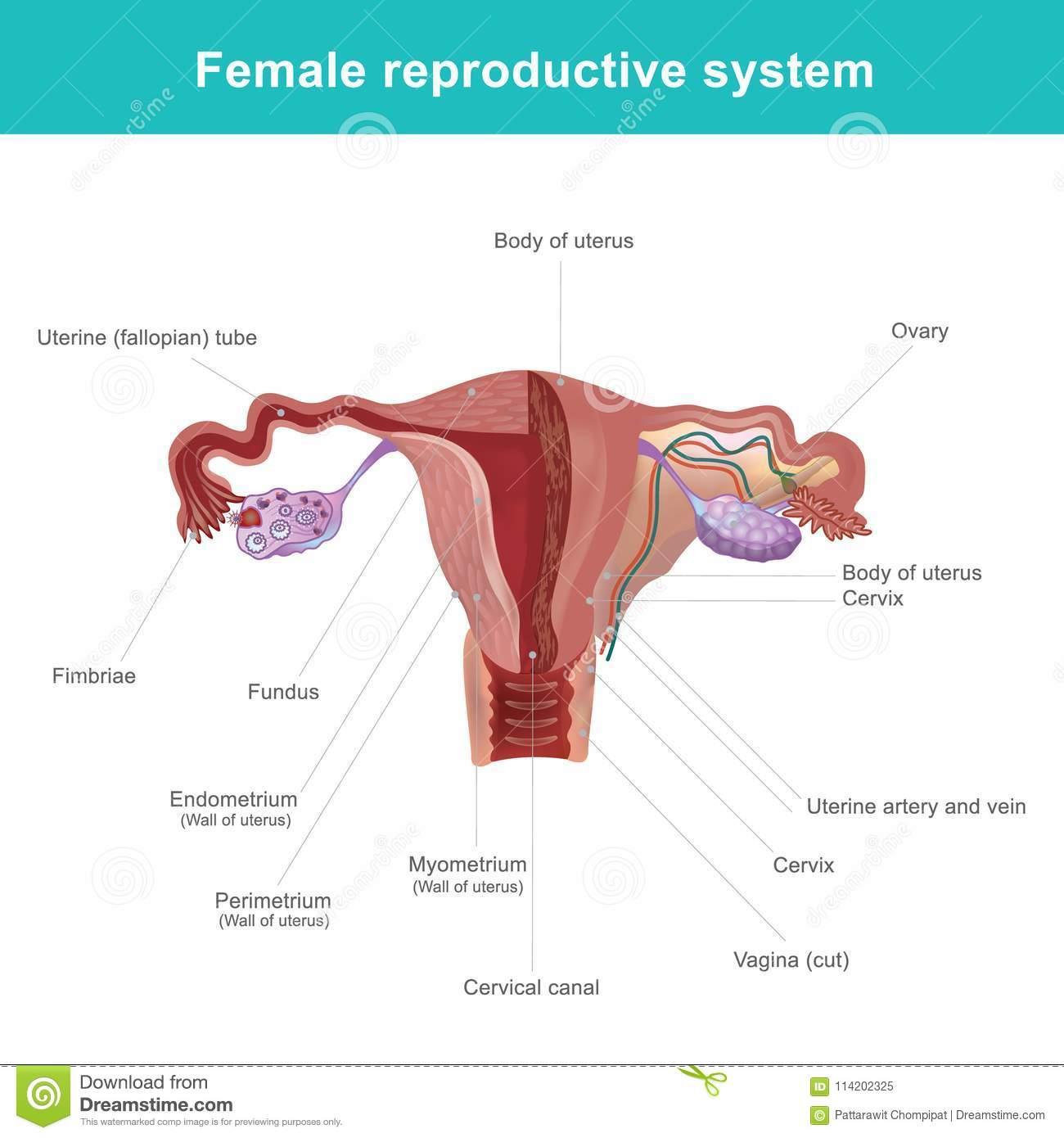 The Female Reproductive System. Stock Vector - Illustration of ...