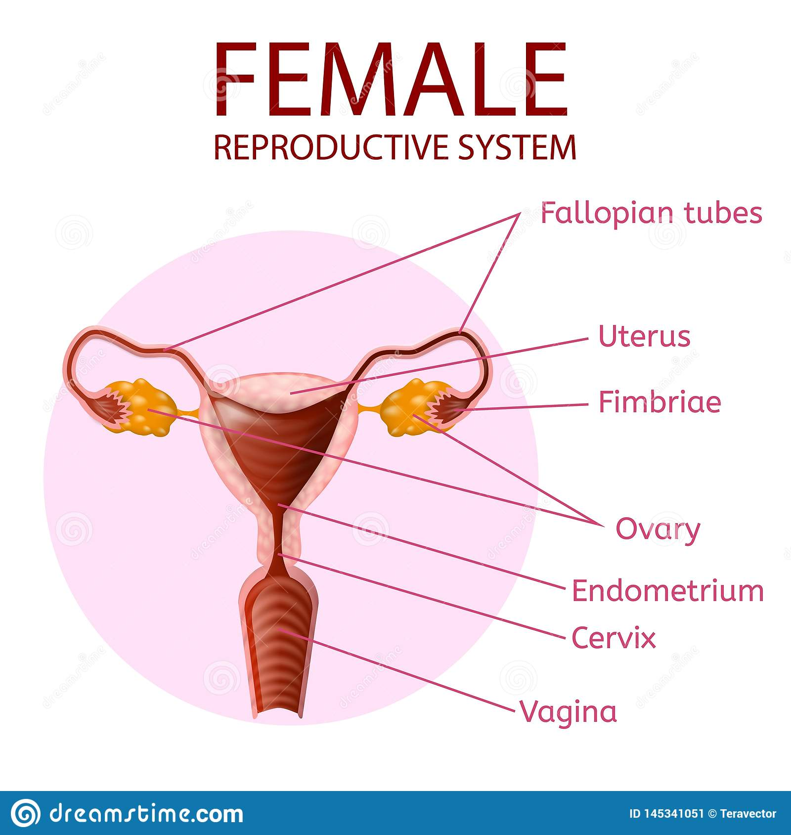 Female Reproductive System Human Anatomy Banner Stock Vector