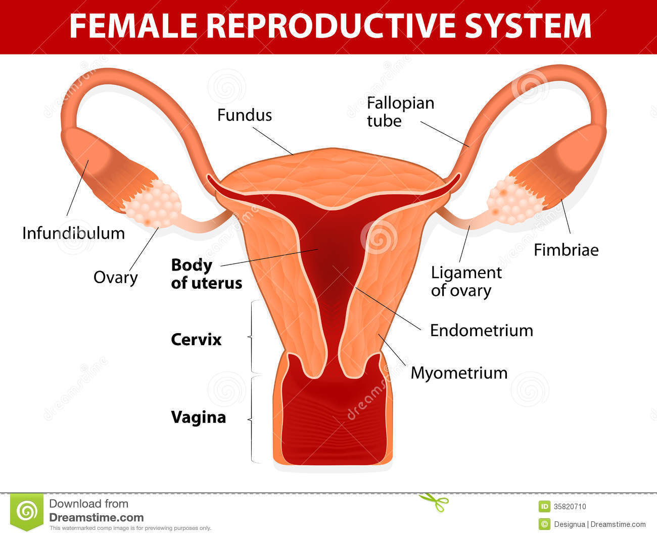 Anatomy Diagrams Female Reproductive System Wiring Info Store Gtgt 944 2 Brake Rear Diagram Stock Vector Illustration Of Ligament Rh Dreamstime Com Dementors Chart Cat Dissection