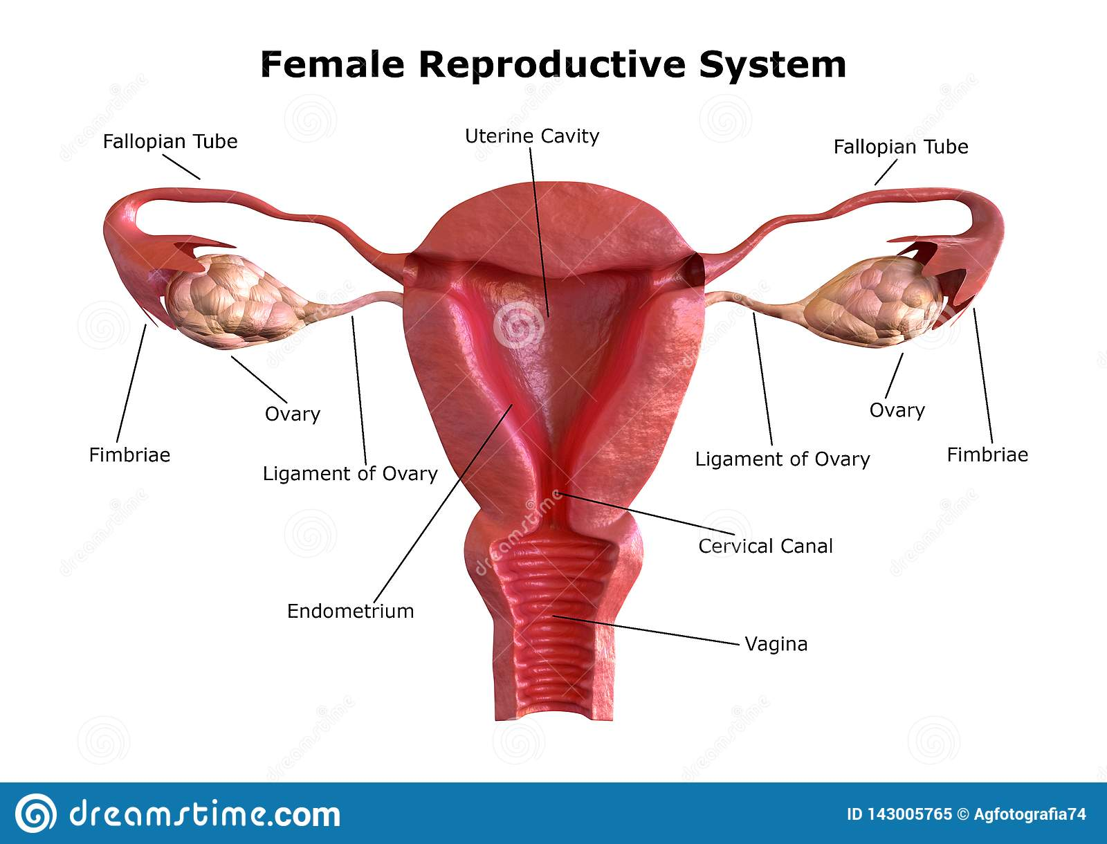 Female Reproductive System. Internal View Of The With ... on pituitary system diagram, immune system diagram, fetus diagram, skin diagram, the vascular system diagram, immunologic system diagram, cardiac system diagram, endocrine system diagram, respiratory system diagram, excretory system diagram, cardiovascular system diagram, bladder system diagram, digestive tract diagram, musculoskeletal system diagram, integumentary system diagram, nervous system diagram, uterus system diagram, sensory system diagram, hepatobiliary system diagram, cns system diagram,