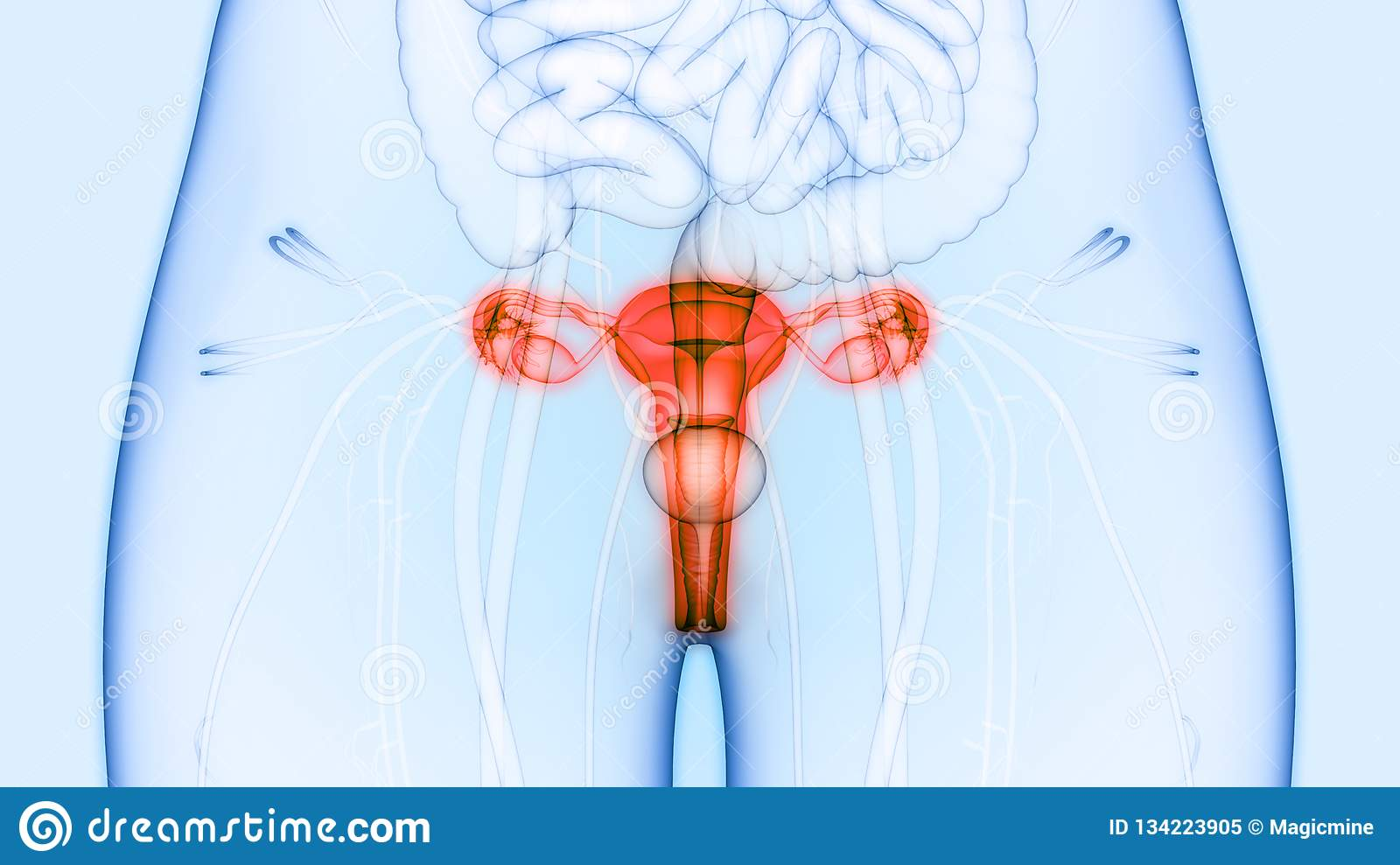 Female Reproductive System And Urinary System Kidneys With