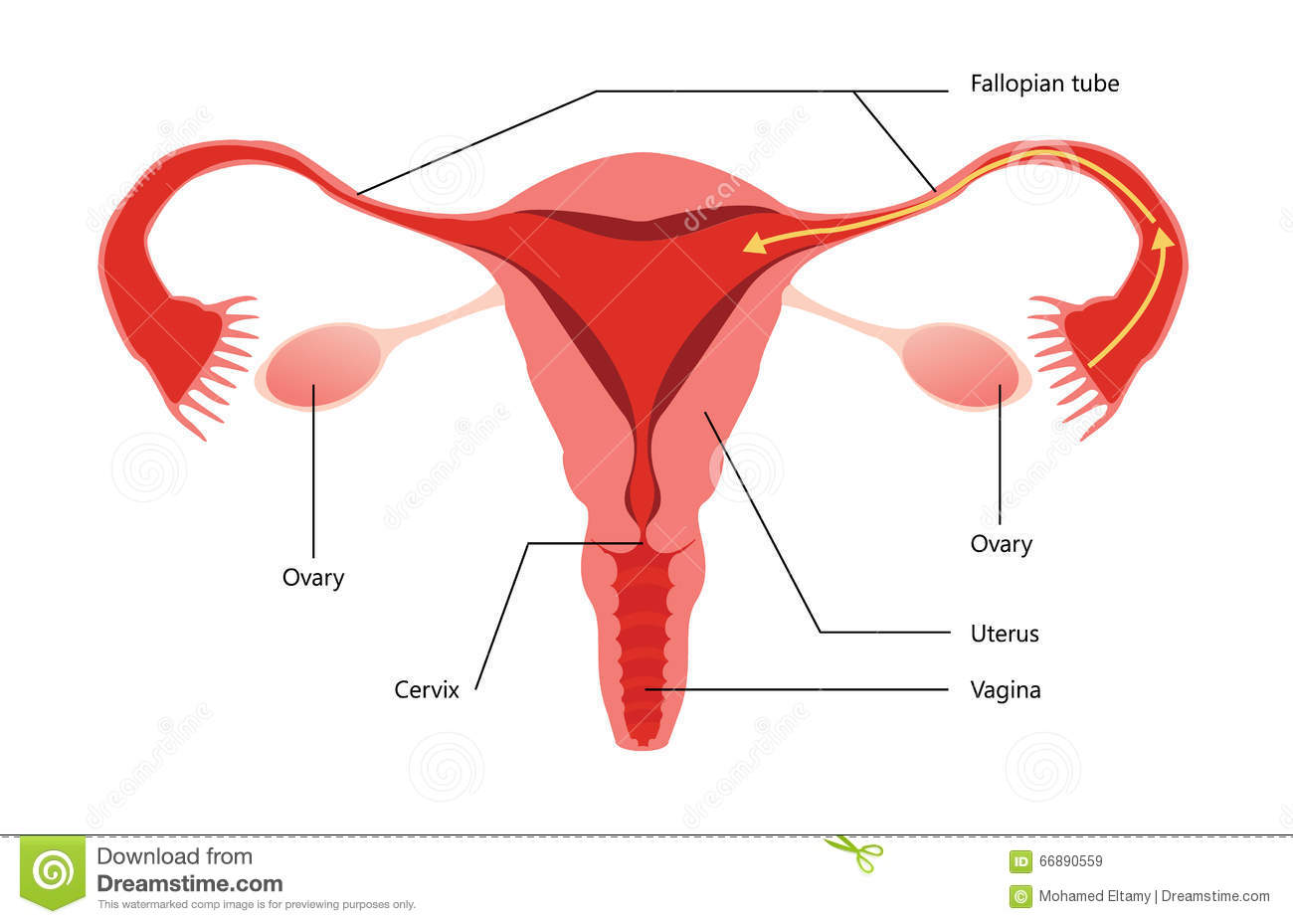 Female Reproductive System Vector Diagram Stock Vector