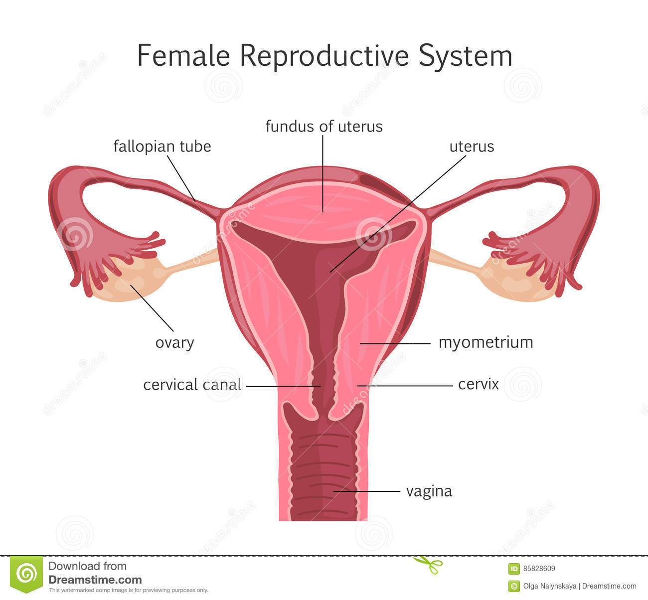 Female Reproductive System Stock Vector Illustration Of Human