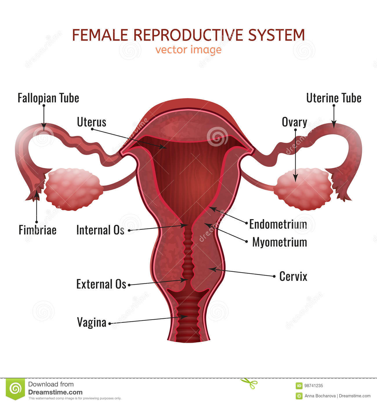 Female Reproductive System Stock Vector Illustration Of Cervix