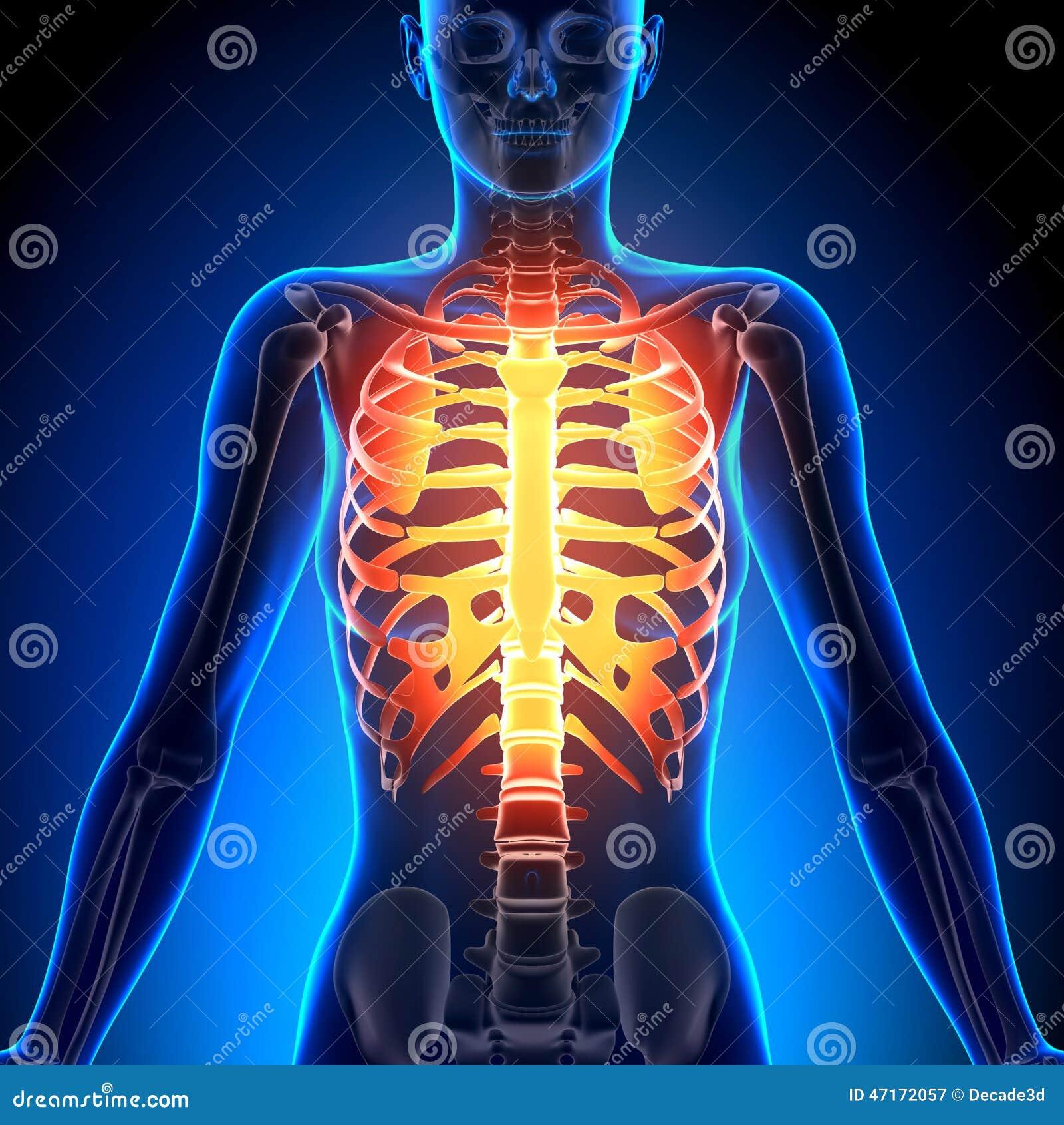 Female Rib Cage - Anatomy Bones Stock Illustration - Illustration of ...