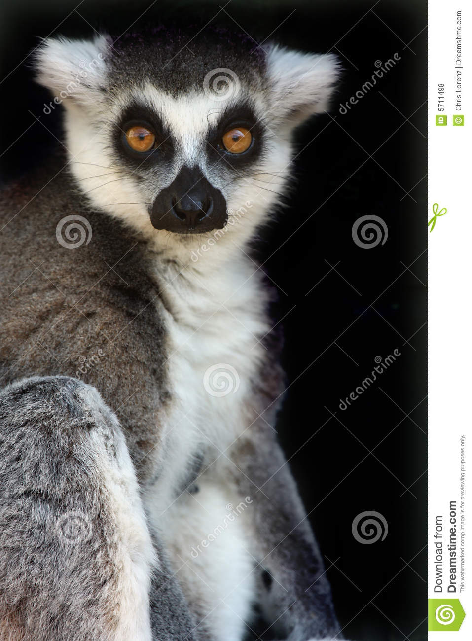female ringtailed lemur royalty free stock photos
