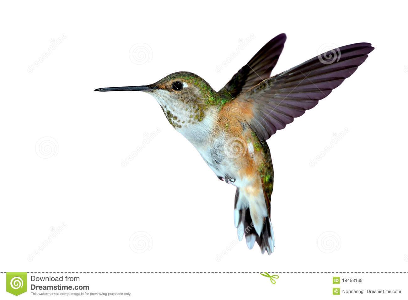 Rufous hummingbird drawing - photo#27