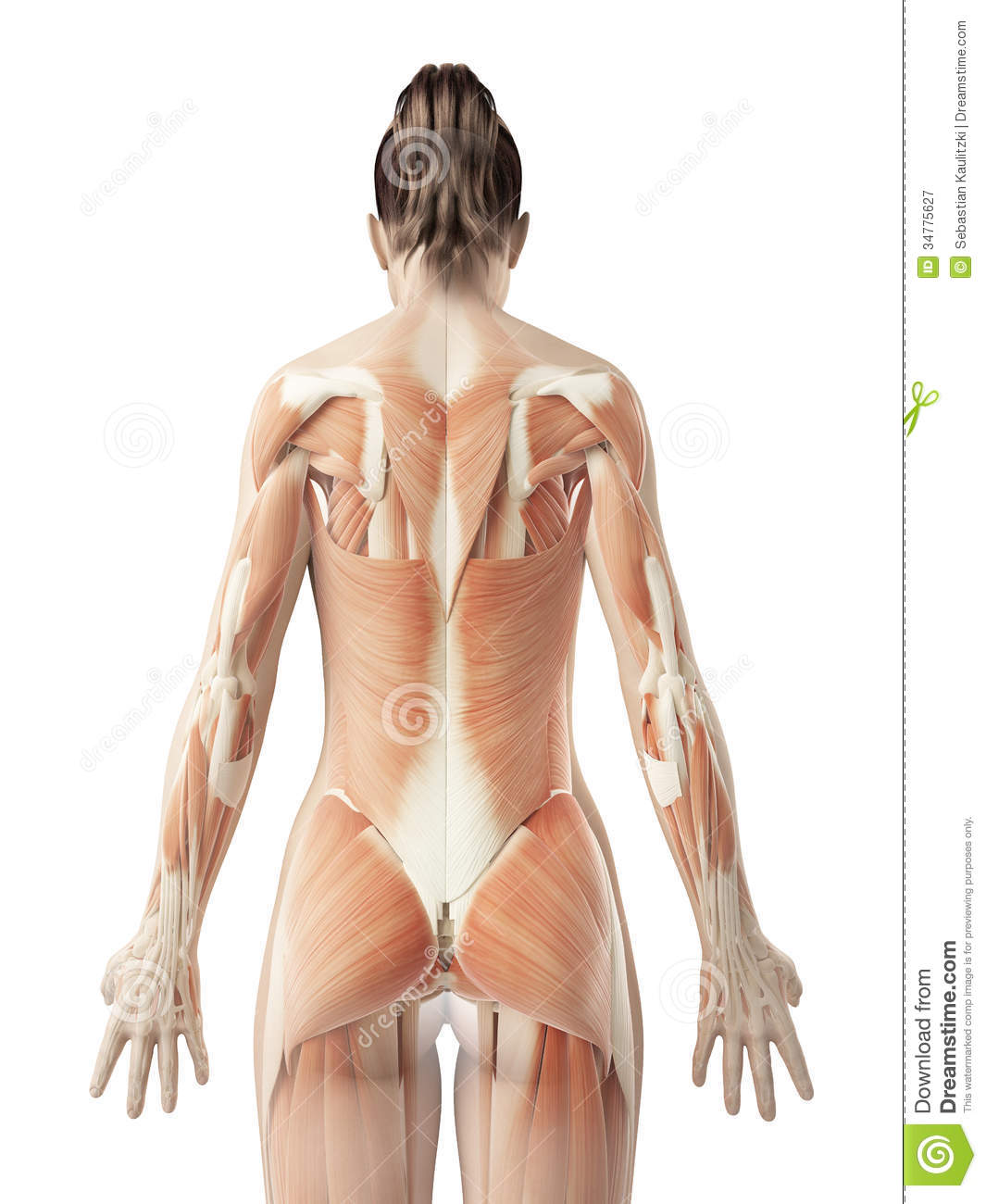 The Female´s Back Muscles Royalty Free Stock Photography - Image ...